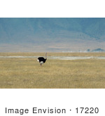 #17220 Picture Of A Male Flightless Ostrich Bird (Struthio Camelus) Standing Alone In A Grassy Landscape In Tanzania Africa