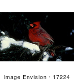 #17224 Picture Of A Red Cardinal Bird Perched On An Evergreen Branch With Snow