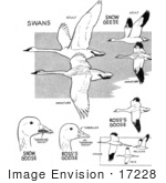#17228 Illustrated Clip-Art Of Swans Snow Geese Ross'S Geese Cranes Ibis And Pelicans Waterfowl Birds