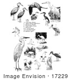 #17229 Illustrated Clip-Art Of A Compilation Of Birds Including Herons Spoonbills And Egrets