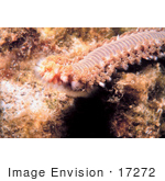 #17272 Picture Of One Orange Fireworm (Eurythoe Complanata)