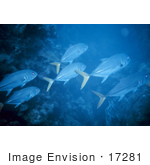 #17281 Picture Of Crevalle Jacks (Caranx Hippos) Schooling