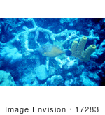 #17283 Picture Of A Long-Nosed Filefish (Oxymonocanthus Longirostris)
