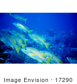 #17290 Picture Of A Group Of Yellowtail Snapper Fish (Ocyurus Chrysurus)