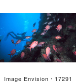 #17291 Picture Of A Diver Near A Reef With A Group Of Pink Squirrelfish (Holocentridae)