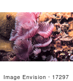 #17297 Picture Of Pink Or Purple Feather Duster Worms (Sabellidae)