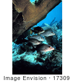 #17309 Picture Of Gray Snappers (Lutjanus Griseus)