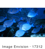 #17312 Picture Of Blue Tang Fish (Acanthurus Coeruleus) Schooling