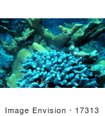 #17313 Picture Of Elkhorn Coral (Acropora Palmata) And Clubtip Finger Coral