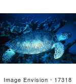 #17318 Picture Of A Green Turtle (Chelonia Mydas) At The Florida Keys National Marine Sanctuary