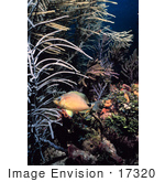 #17320 Picture Of A Butter Hamlet Fish Near Sea Rods
