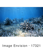 #17321 Picture Of Staghorn Corals (Acropora Cervicornis) In Seagrass Under Sun Rays