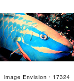 #17324 Picture Of A Spotlight Parrotfish