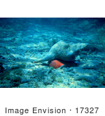 #17327 Picture Of A Horse Conch (Pleuroploca Gigantea) In Sand And Coral Rubble