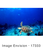 #17333 Picture Of A Green Sea Turtle (Chelonia Mydas)