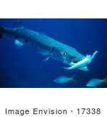 #17338 Picture of a Barracuda Eating a Fish by JVPD