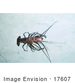 #17607 Picture Of A Banded Spiny Lobster (Panulirus Marginatus)