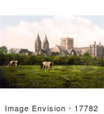 #17782 Photo Of Cows Grazing Near Southwell Minster And Cathedral Southwell Nottinghamshire England