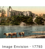 #17793 Photo Of Three Cows On The Shore Of River Wharfe In Front Of The Ruins Of Bolton Abbey