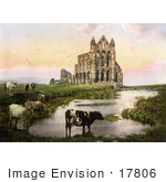 #17806 Photo Of Cows Grazing Near The Pond At Sunset At Whitby Abbey In Yorkshire England