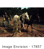 #17857 Photo Of Men Using Horses To Harvest Corn In A Crop