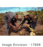 #17858 Photo Of Two Male Farmers Inspecting Corn Roots During A Harvest
