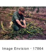 #17864 Photo Of A Male Farmer Tying Harvested Corn Into Bundles