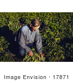 #17871 Photo Of A Pinto Bean Farmer Turning Up His Beans