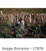 #17876 Photo Of A Male Farmer Tying Up Cauliflower In A Crop