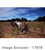 #17878 Photo Of Farmers Riding On A Horse Drawn Tool While Harvesting Corn