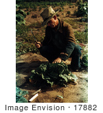 #17882 Photo Of A Male Farmer Crouching And Preparing To Cut A Head Of Cabbage