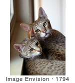 #1794 Picture Of Two Savannah Kittens By A Window
