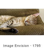 #1795 Picture Of A Savannah Cat Sleeping On A Couch