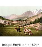 #18014 Picture Of Cattle Grazing At The Village Of Saas Fee In The Swiss Alps Valais Switzerland
