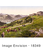 #18349 Photo Of Grazing Cows Near Hotels And Railway Rigi Scheidegg Rigi Switzerland