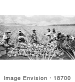 #18700 Black And White Photo Of Men Harvesting Pineapples In A Crop On A Plantation In Hawaii