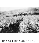 #18701 Black and White Photo of a Pineapple Crop in Hawaii by JVPD
