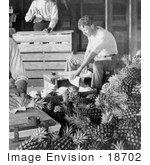 #18702 Black And White Photo Of Men Boxing Pineapples For Shipment After Harvest