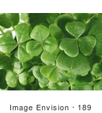 #189 Photo Of A Shamrock Plant