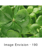 #190 Photograph Of Clovers On A Shamrock Plant