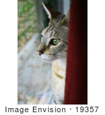 #19357 Photo of an 8 Month Male F4 Savannah Kitten With Green Eyes Looking Out a Window by Jamie Voetsch