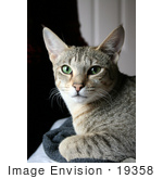 #19358 Photo Of An 8 Month Female F4 Savannah Kitten Cat