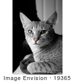 #19365 Photo Of An 8 Month Female F4 Savannah Kitten Cat With Green Eyes And A Pink Nose