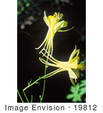 #19812 Photo Of Two Yellow Columbine Flowers (Aquilegia Flavescens)