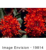 #19814 Photo of Red Butterfly Weed Flowers by JVPD