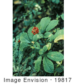 #19817 Photo Of American Ginseng (Panax Quinquefolius) Berries