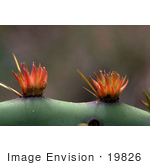 #19826 Photo Of Prickly Pear Cactus Flowers