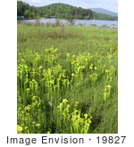 #19827 Photo Of Green Pitcher Plants Growing In A Bog