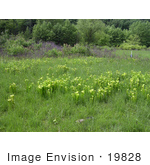#19828 Photo Of Green Pitcher Plants (Sarracenia Oreophila) In A Bog