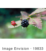 #19833 Photo Of Two Blackberries (Rubus X Paracaulis Bailey) On The Plant